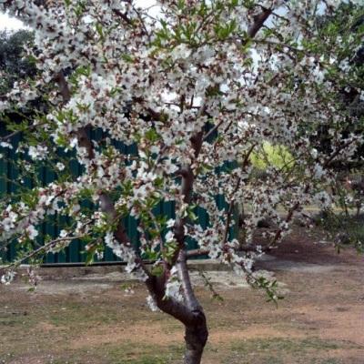 Mantelipuun lajike tavallisia manteleita