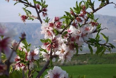 Mandulás fa levelek és virágok