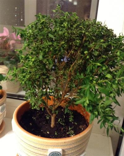 Myrtenbaum in einem Topf