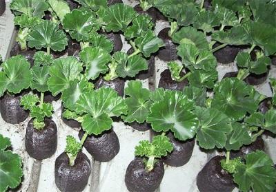 Mudas Pelargonium