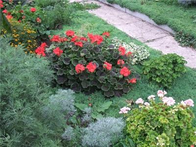 Pelargonium no jardim