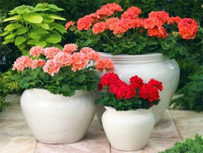 Pelargonium em vaso