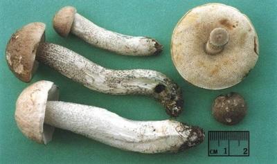 Eigenschaften von Pilzen von Steinpilzen