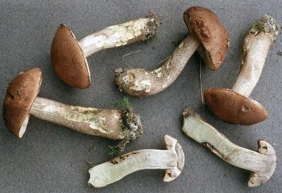 Манатарки от кафява шапка, използвани за медицински цели