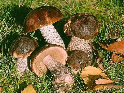 Steinpilze wachsen in Laubwäldern