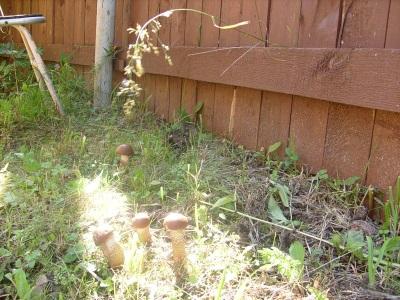 Apiņu sēņu audzēšana