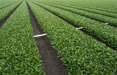 Plantações de espinafre