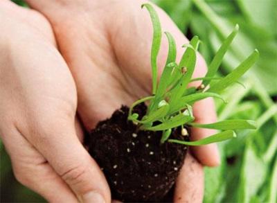 Plantando espinafre na primavera no chão