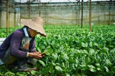 Plantações de espinafre na China