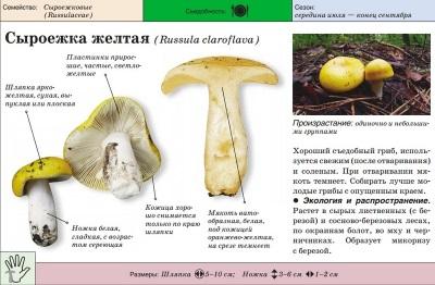 Kuning Russula