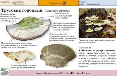 Polypore humpback