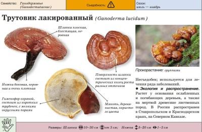 Varnish timah (Reishi)