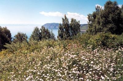Yarrow Baikalissa