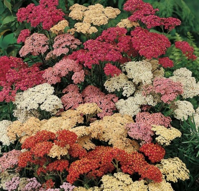 Harm dan contraindications yarrow