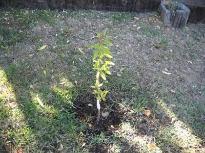 Tumbuh pokok badam