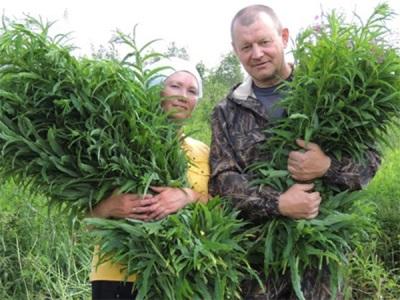 Sammeln von Weidenröschen