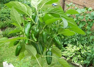 Kemunculan tumbuhan dan lada jalapeno