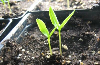 Καλλιέργεια σπόρων jalapeno