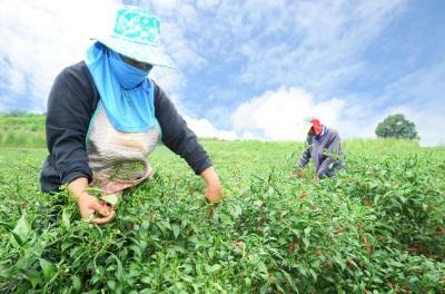 Chili-t nagyobb mértékben termesztik Indiában