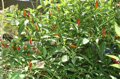 Chilli növények