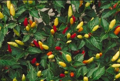 Tabasco-Pfefferpflanze
