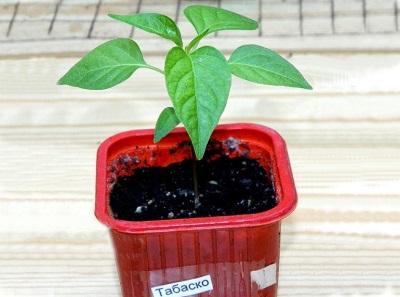 Pflanzen von Tabasco-Samen