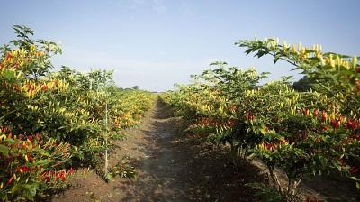 Tabasco wächst nicht nur in Mexiko, sondern auch in einigen Teilen Amerikas