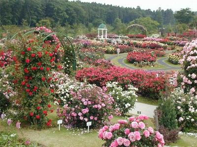 Rožių sodas