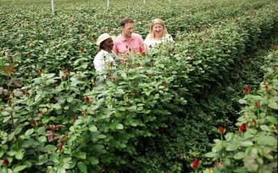 Rosenplantagen in Kenia