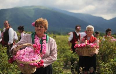 Sammeln von Rosenblättern in Bulgarien