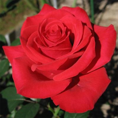 Rose Eigenschaften