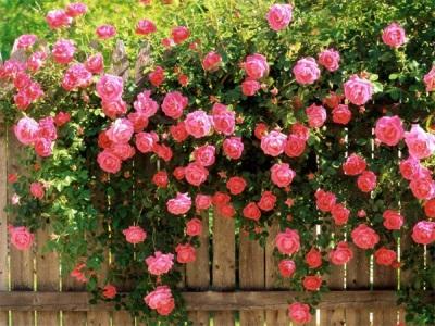 Rožių kraštovaizdžio dizainas