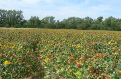 Safflower di padang