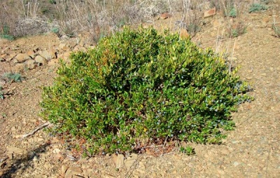 Myrtenbaum